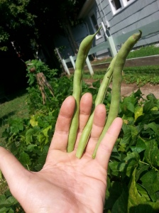 Green beans. Don't be alarmed.